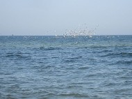 Żerujące ptaki